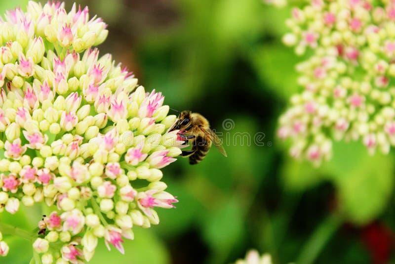 Biene auf den hellrosa Blumen lizenzfreies stockfoto