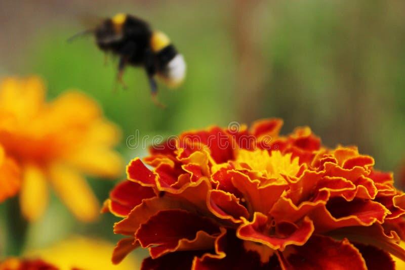 Biene auf der roten Blume stockbild