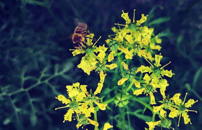 Biene auf einem blühenden Ruebusch stockfoto