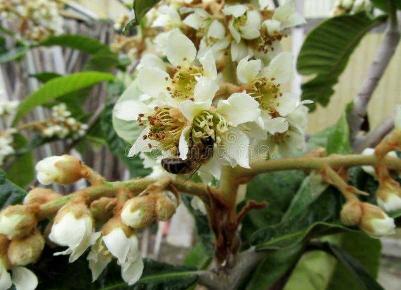 Biene auf einem Blume Loquat lizenzfreie stockbilder