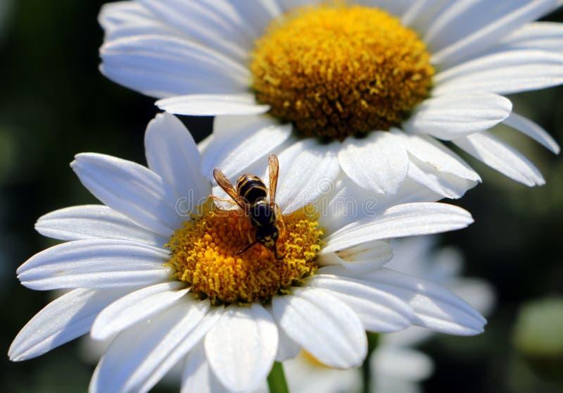 Biene auf einem Gänseblümchen stockfoto