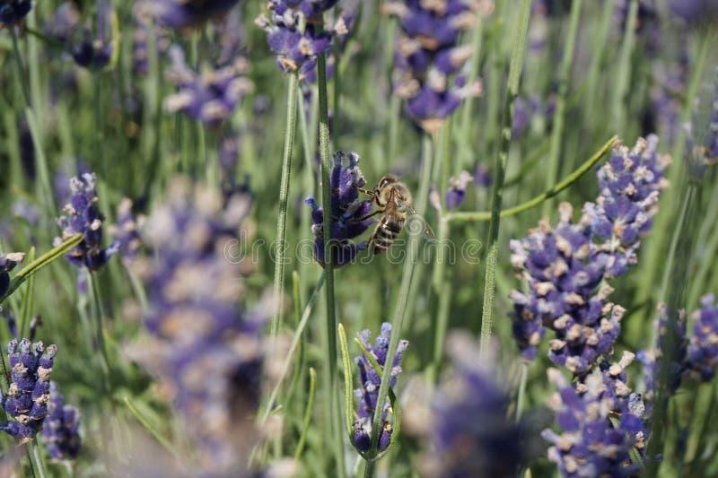Biene auf einem Lavendel lizenzfreies stockfoto