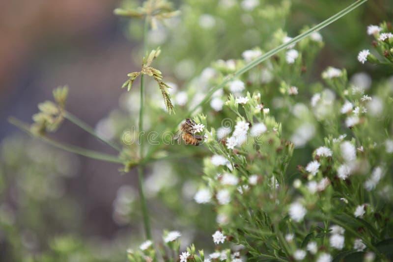 Biene auf einem Steviagebiet lizenzfreies stockbild