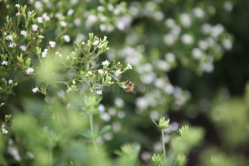 Biene auf einem Steviagebiet lizenzfreie stockfotografie