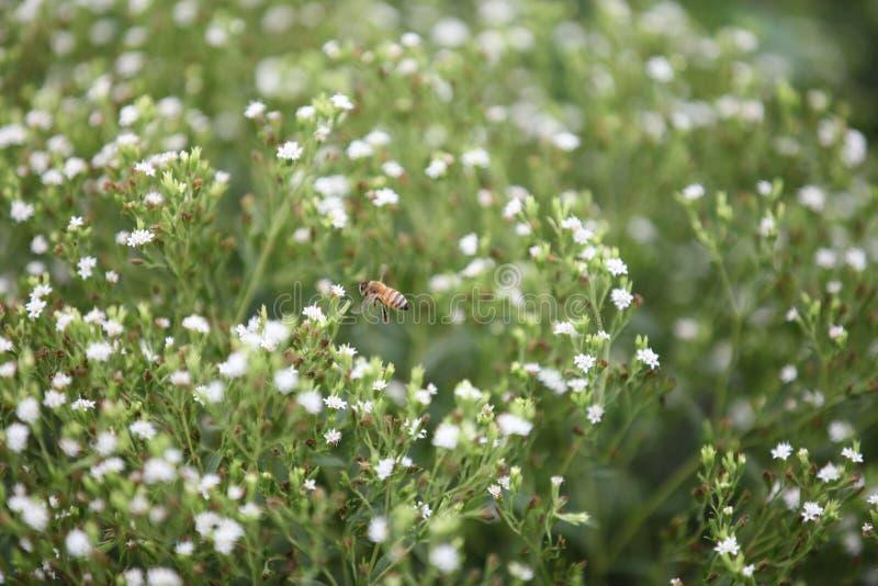Biene auf einem Steviagebiet stockfoto
