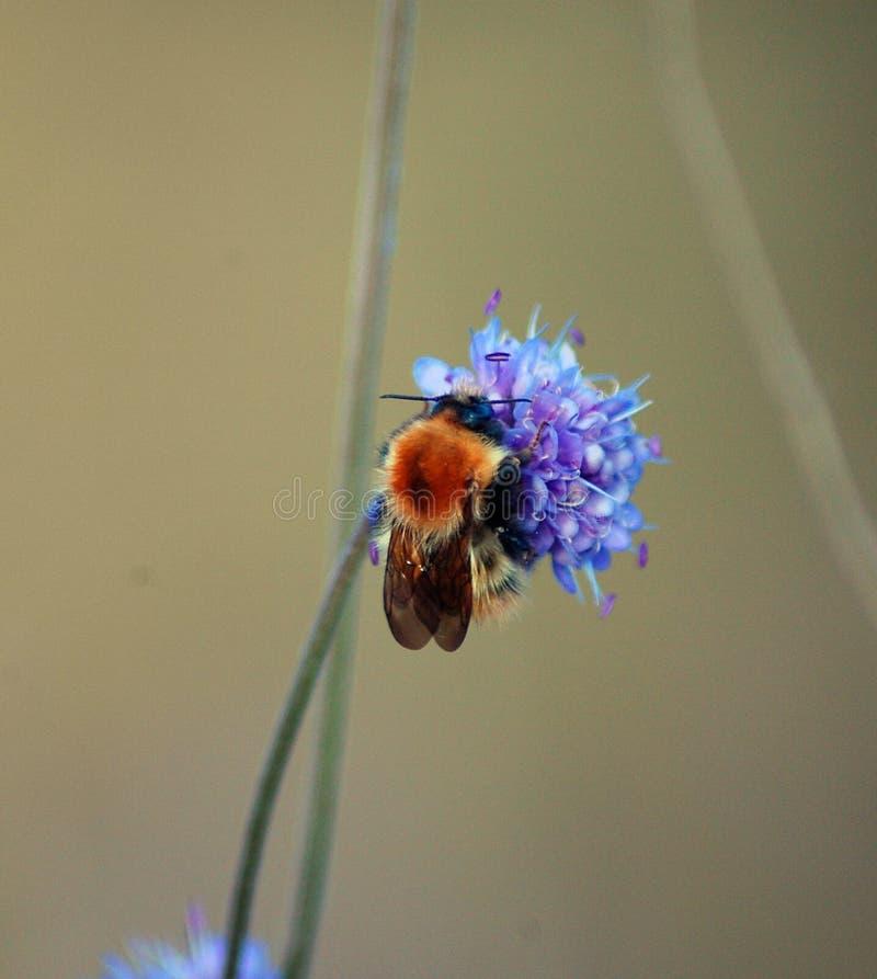 Biene Auf Einer Blume Lizenzfreie Stockfotografie