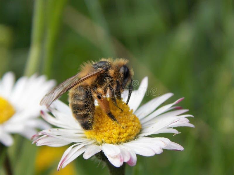 Biene auf einer Blume lizenzfreie stockbilder