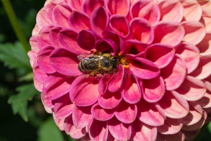 Biene auf einer Dahlie stockfotografie