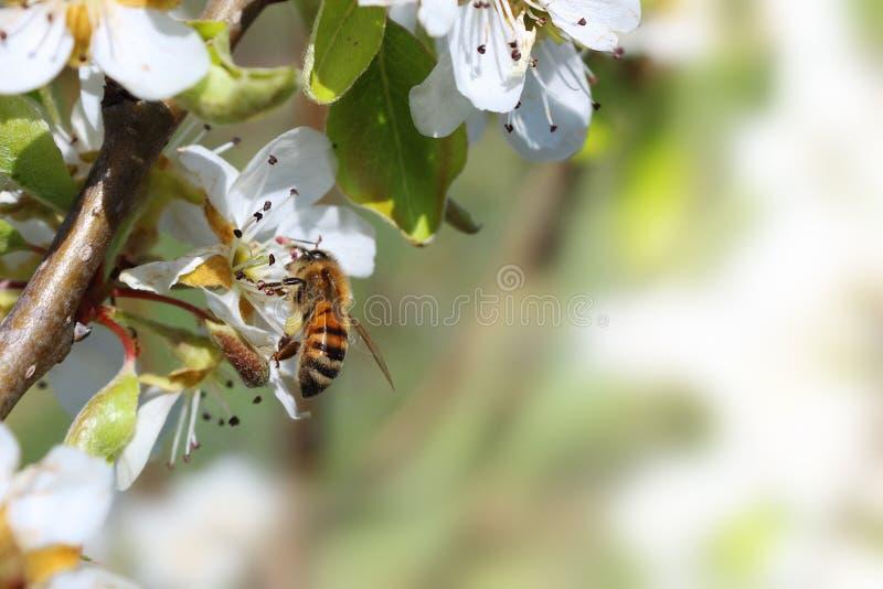 Biene auf einer Kirsche stockbild
