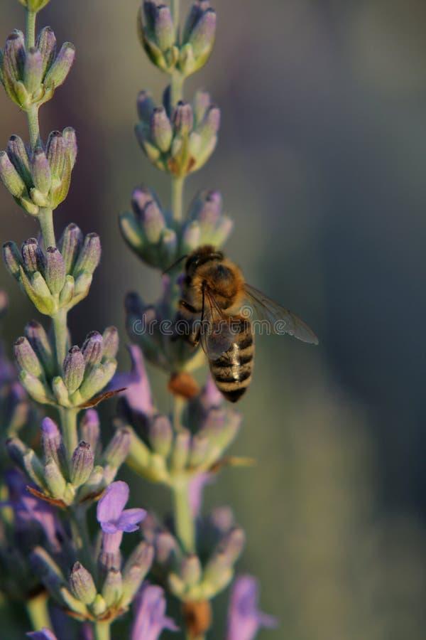 Biene auf einer Lavendelknospe stockfotografie