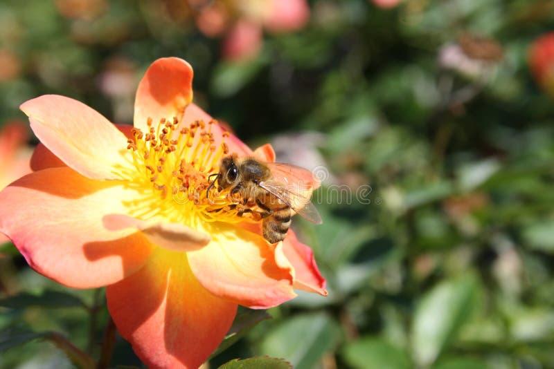 Biene auf einer Rosenblume stockfotografie
