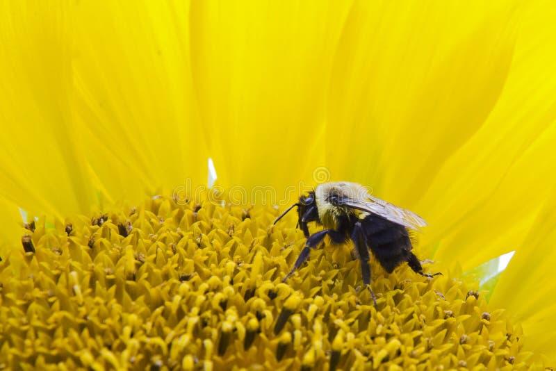 Biene auf einer Sonnenblume stockfotografie
