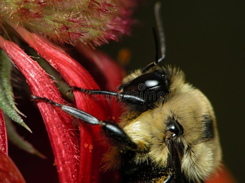 Biene auf Gaillardia stockfoto