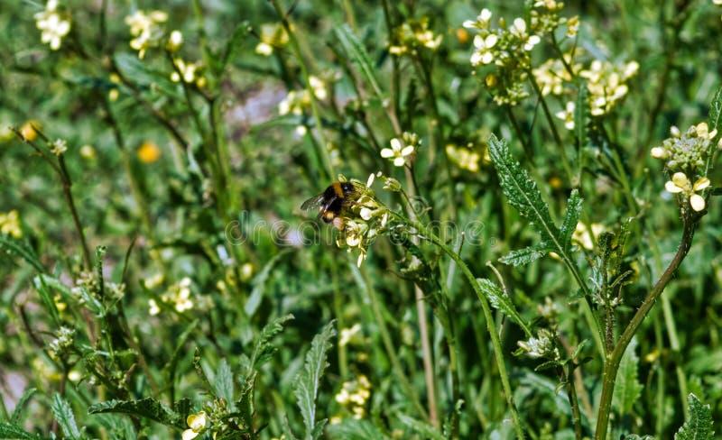 Biene auf gelbem Blumenabschluß herauf Makro beim Sammeln des Blütenstaubs stockfoto