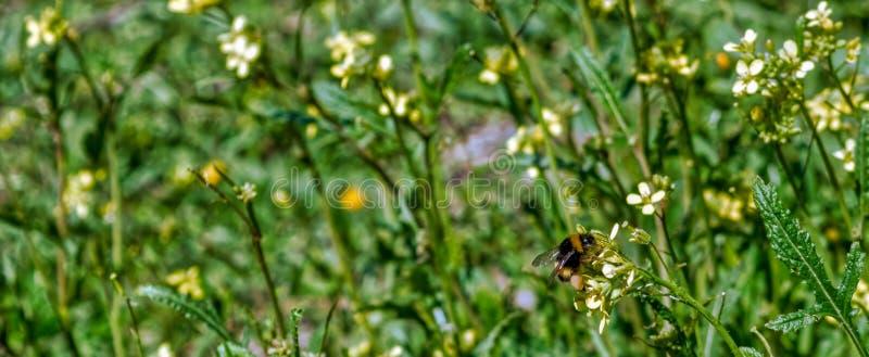 Biene auf gelbem Blumenabschluß herauf Makro, beim Sammeln des Blütenstaubs auf Grün und Gelb verwischte Hintergrund stockbild
