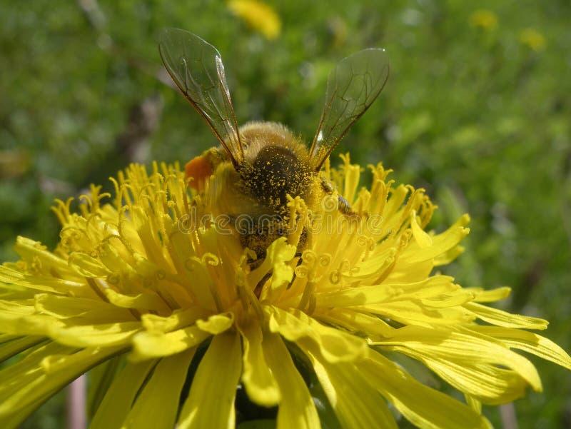 Biene auf gelbem hellem Löwenzahn stockfoto