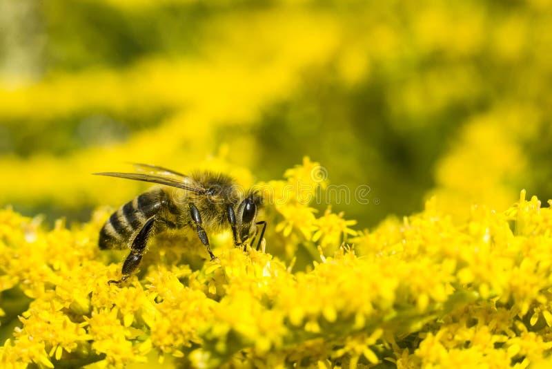 Biene auf gelber Goldrute Sammelt Blütenstaub und Getränknektar lizenzfreies stockbild