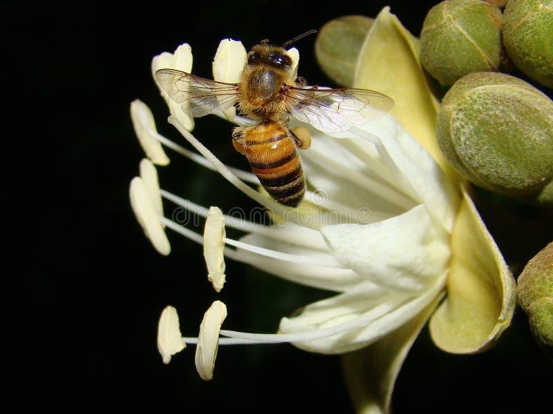 Biene auf Johannisbrotbaum-Baum-Blume stockfoto