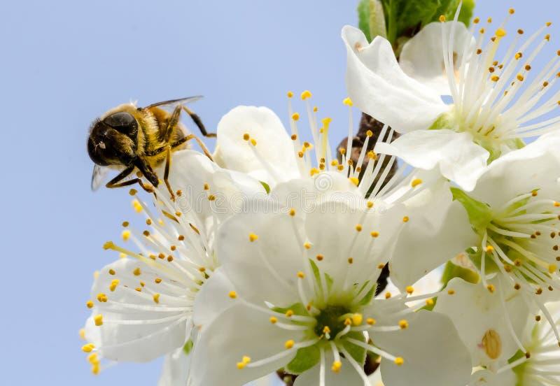 Biene auf Kirschblüte lizenzfreies stockbild