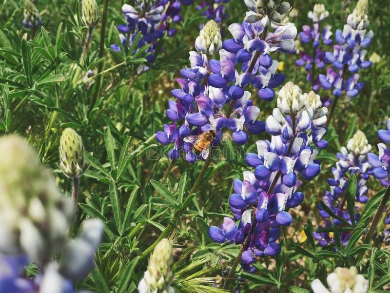 Biene auf Lupine lizenzfreie stockfotos