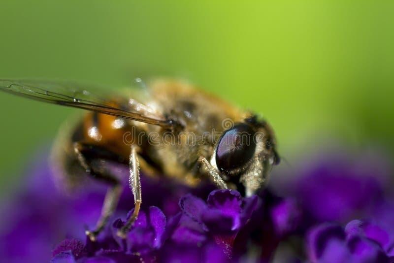 Biene auf purpurroter Blume stockfoto