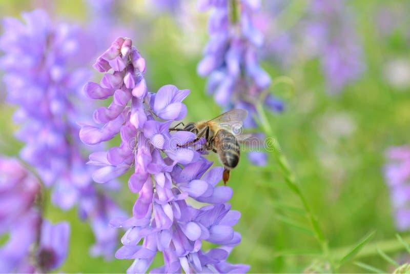 Biene auf purpurroter Blume stockfotografie