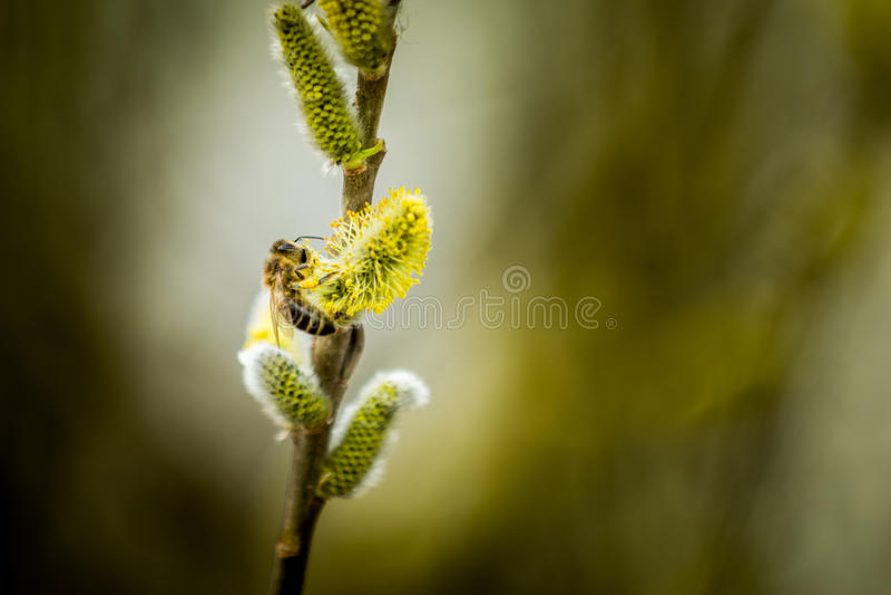 Biene auf Salweide lizenzfreie stockbilder