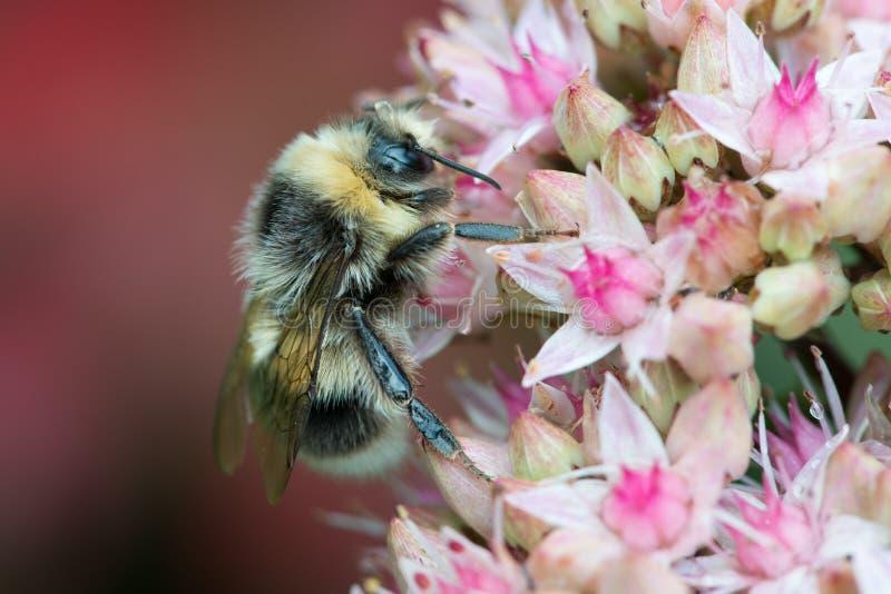 Biene auf sedum Blumen stockfotografie