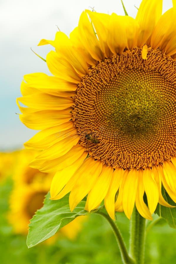 Biene auf sunwlofer lizenzfreie stockbilder