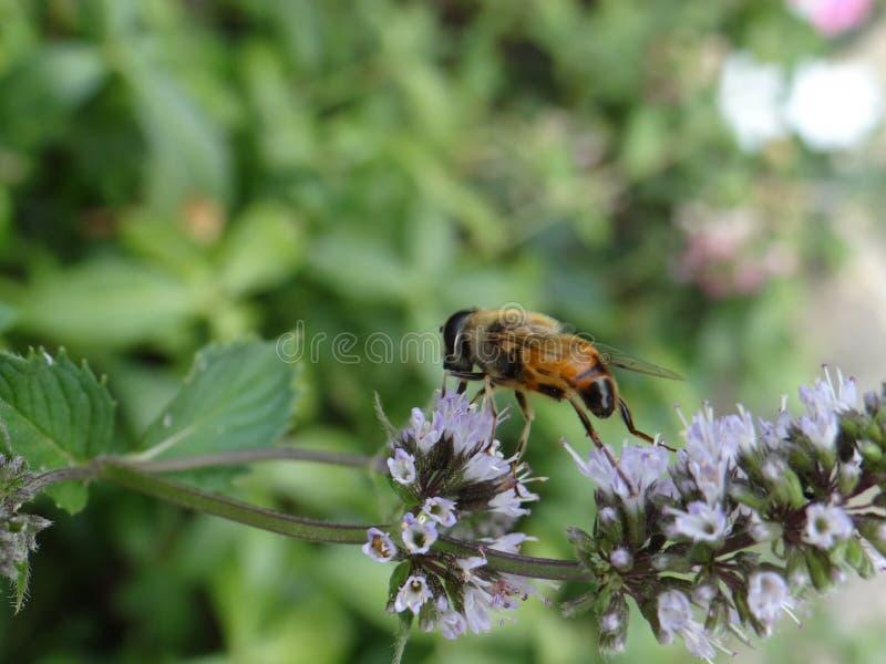Biene auf tadelloser Blume stockfoto