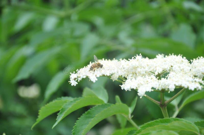 Biene auf weißer Blume lizenzfreies stockfoto