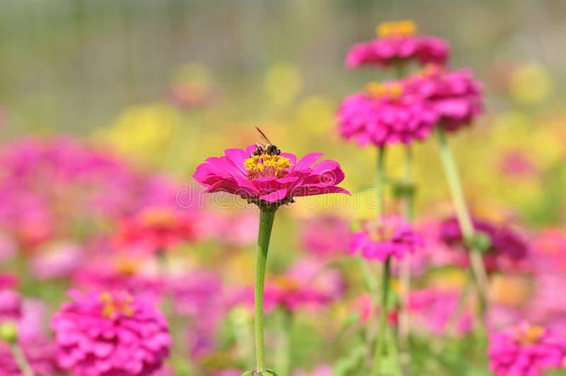 Biene auf Zinniablume stockfotos