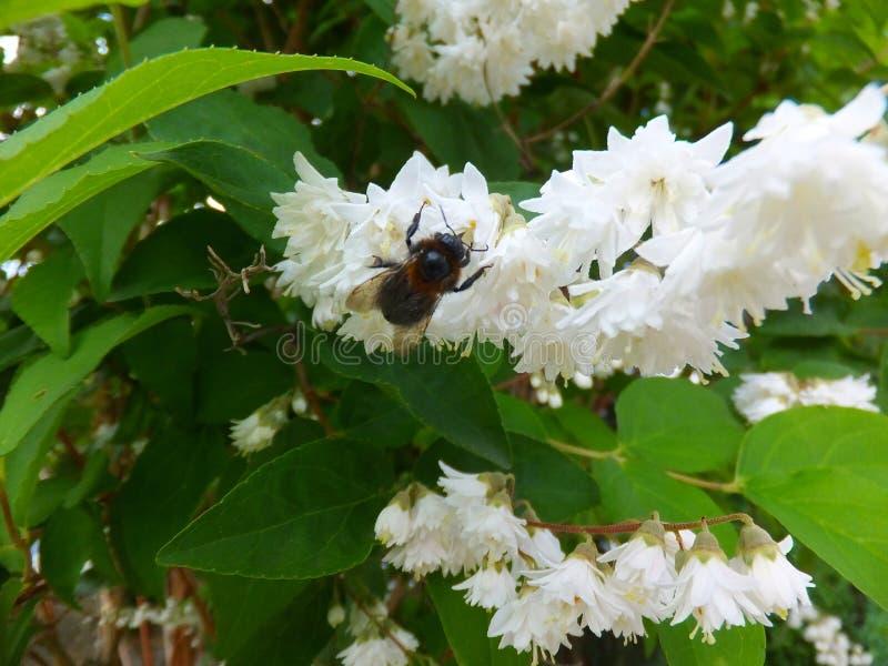 Biene-bei der Arbeit lizenzfreies stockbild