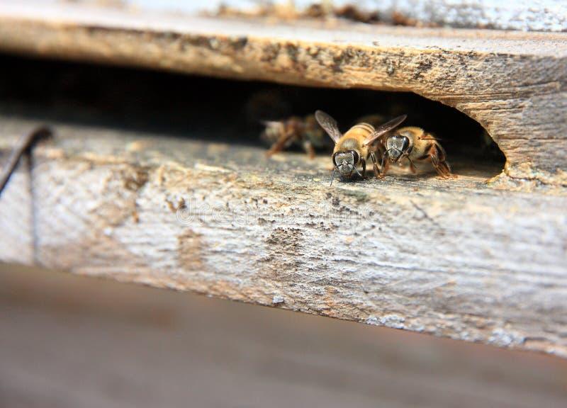 Biene betriebsbereit zu fliegen lizenzfreie stockfotografie