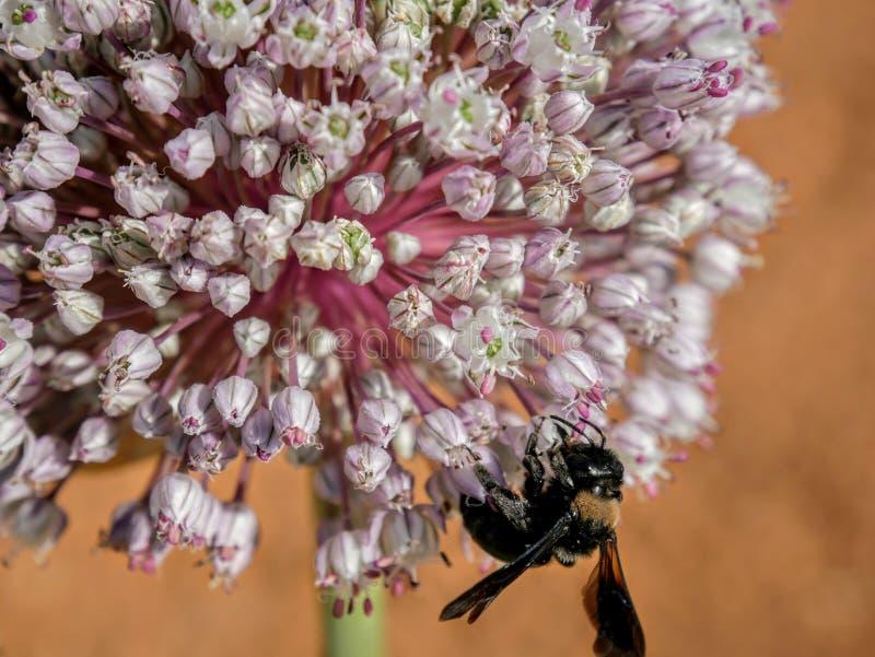 Biene in der Blüte stockbild