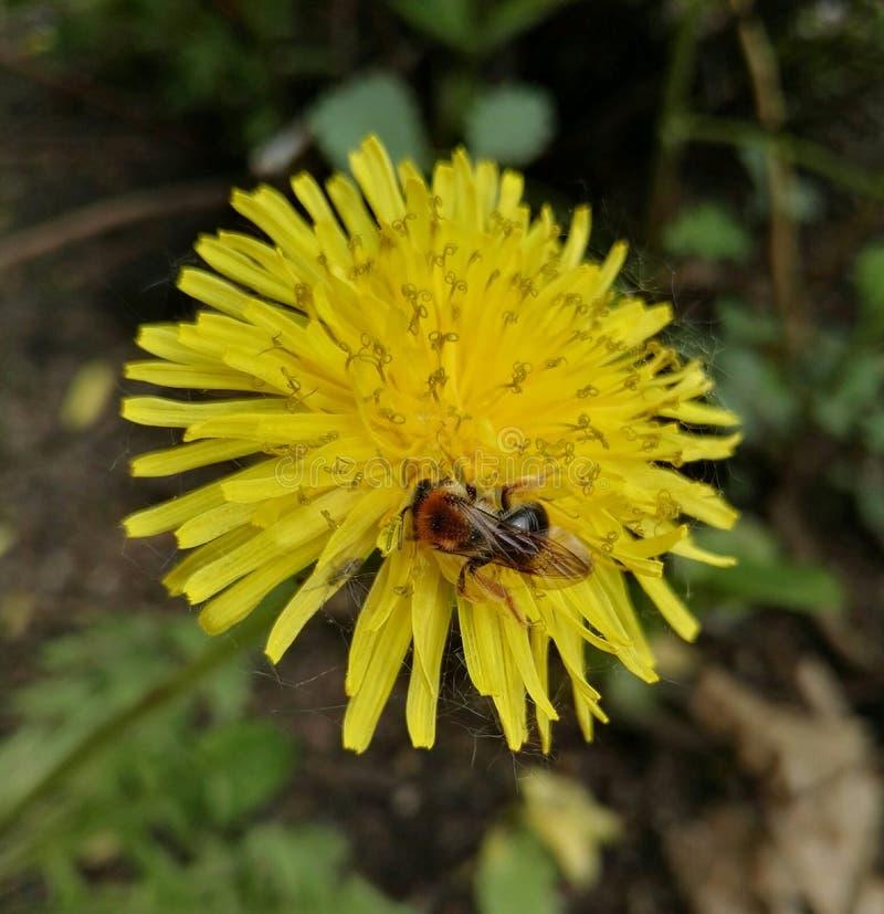 Biene an der Blume lizenzfreies stockfoto