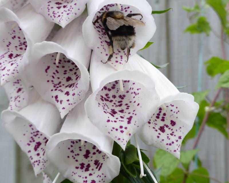 Biene in der Fingerhut stockfotos