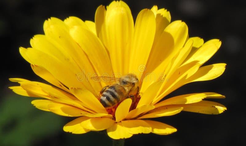 Biene in der gelben Blume lizenzfreie stockbilder