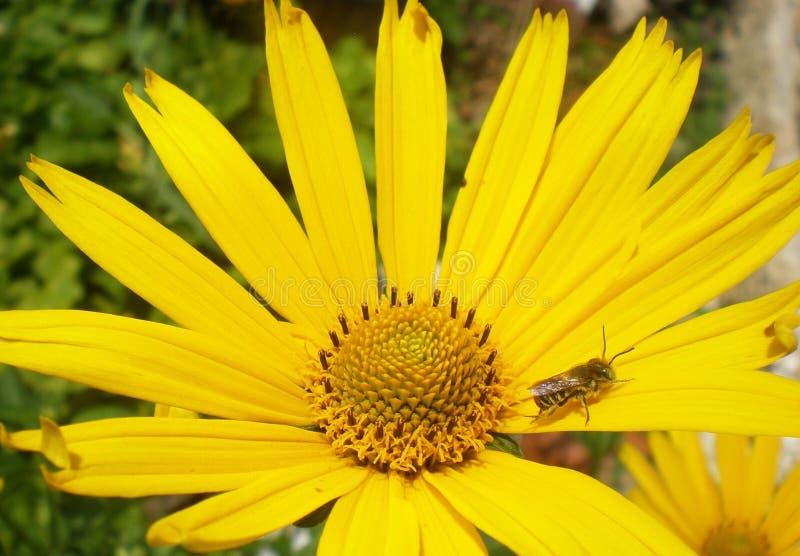 Biene in der Kamille stockfotos