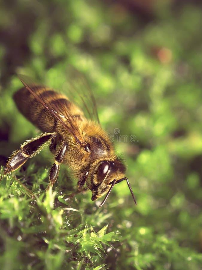 Biene in der Natur trinkend auf Moos stockfotografie