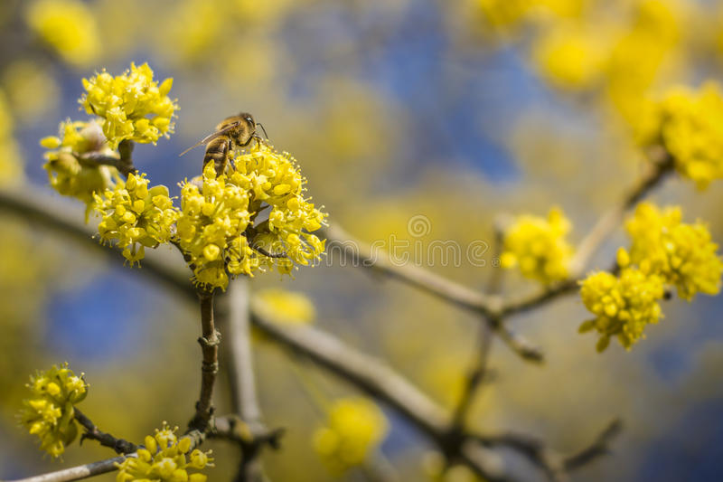 Biene, die auf der Blume in der Blüte sitzt lizenzfreies stockbild