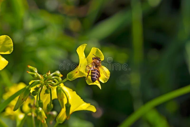 Biene, die auf gelbem Gänseblümchen Wildflower sitzt lizenzfreie stockfotos