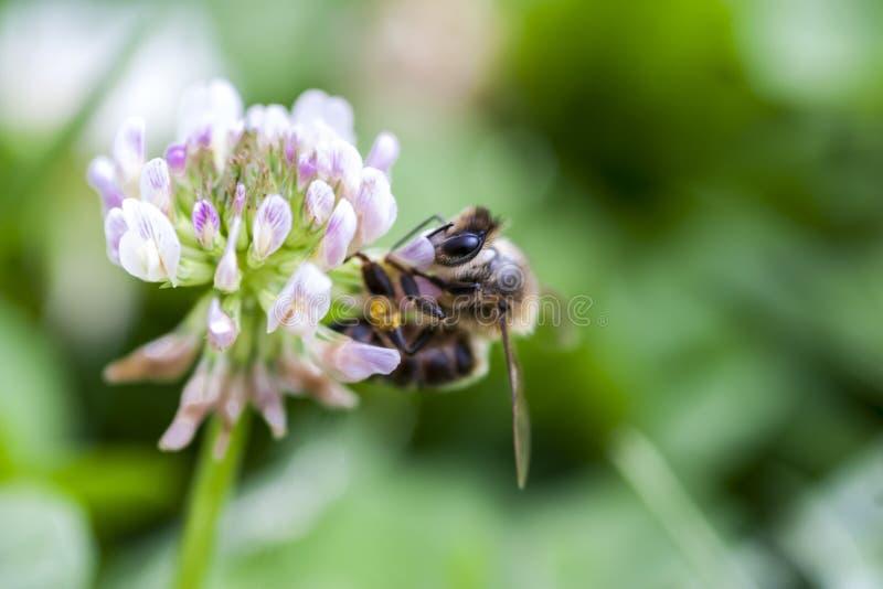 Biene, die Blütenstaub auf einer Kleeblume sammelt lizenzfreies stockbild