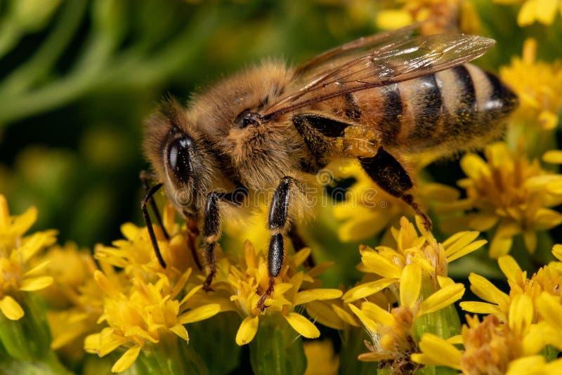 Biene, die Blütenstaub auf gelber Blume sammelt lizenzfreie stockfotografie