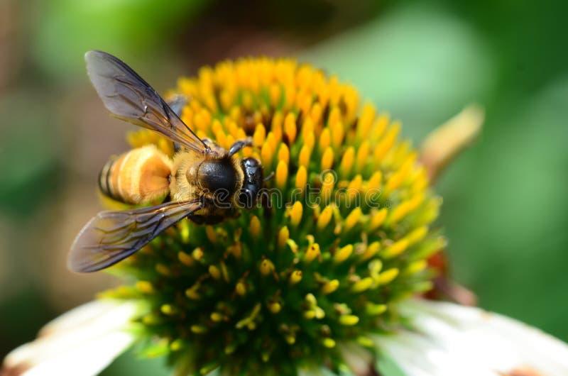 Download Biene, Die Blütenstaub Erfasst Stockfoto - Bild von vibrant, einzeln: 26351864
