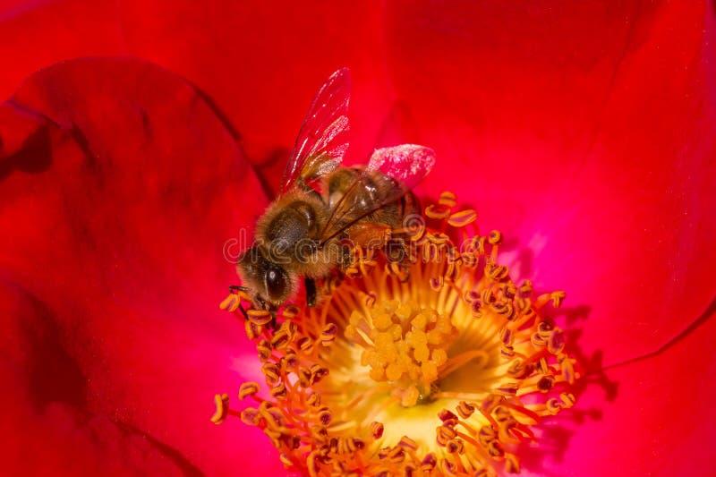 Biene, die Blütenstaub innerhalb der roten rosafarbenen Blume sammelt lizenzfreies stockfoto