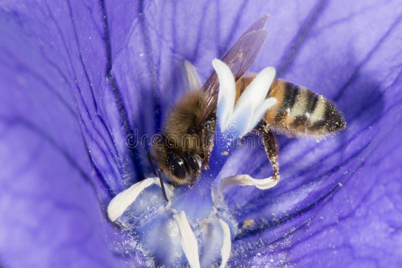 Biene, die Blütenstaub innerhalb einer Blume sammelt stockbilder