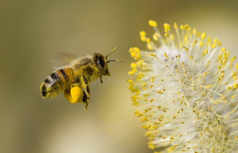 Biene, die Blütenstaub montiert stockfoto