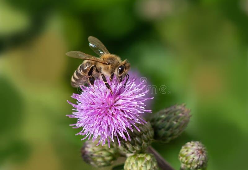 Biene, die eine Blume an einem sonnigen Tag bestäubt stockbild