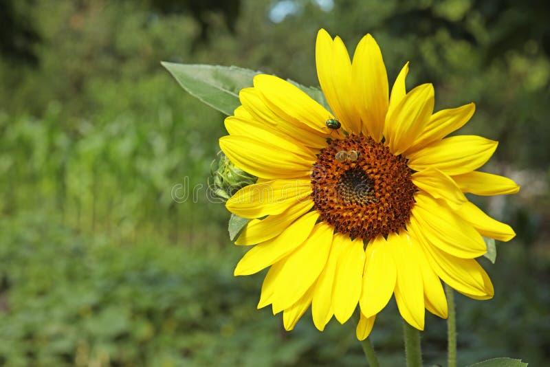 Biene, die Honig von blühender Sonnenblume sammelt lizenzfreie stockfotografie